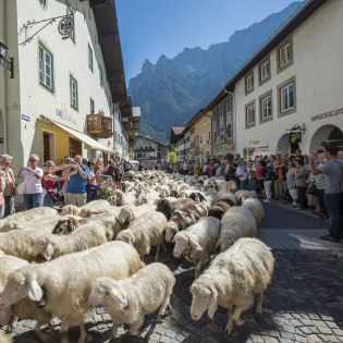 Every autumn, in addition to cattle and goats, the sheep are driven from the alpine pasture to the village., © Alpenwelt Karwendel | Martin Kriner