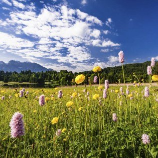 Colorful flowers on a meadow near Gerold, located between Krün and Garmisch-Partenkirchen., © Alpenwelt Karwendel | Kriner & Weiermann